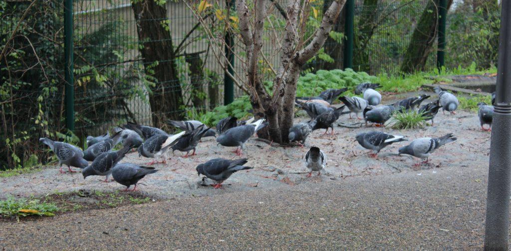 Piège à pigeons - image